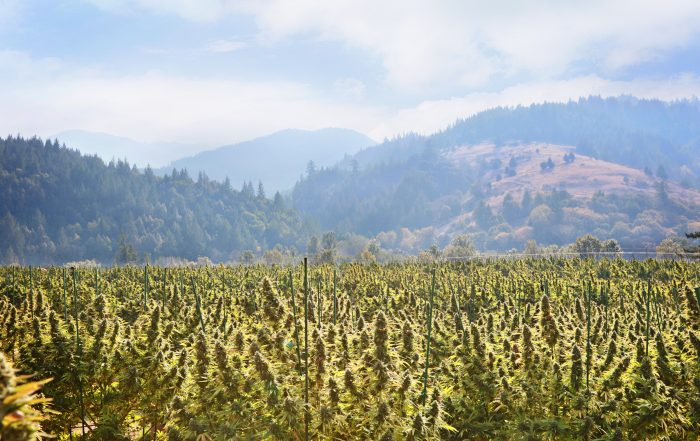 Cannabis field with mountains in the background
