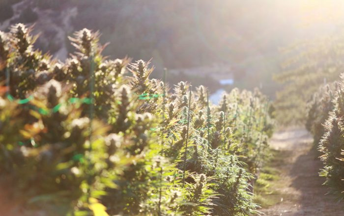 Cannabis field with solar flare