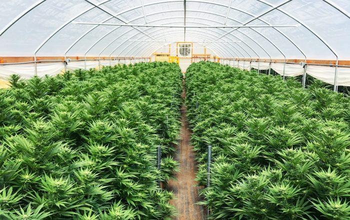 cannabis greenhouse rows